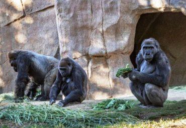 COVID-19 у горилл - фото, первый случай