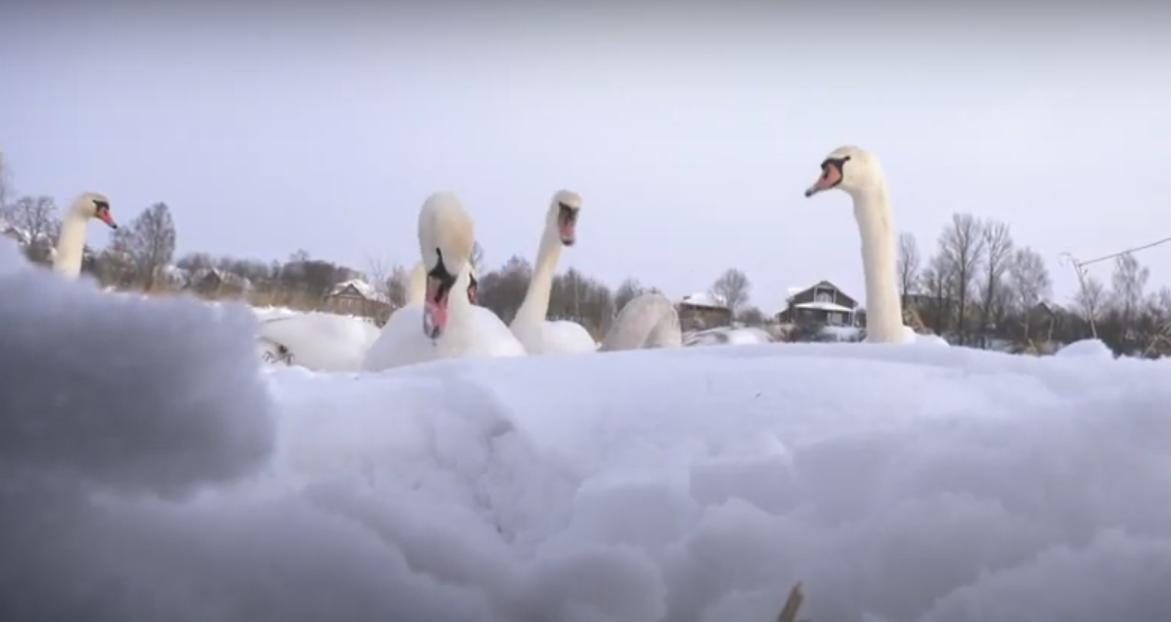 Лебеди остались зимовать в Витебске